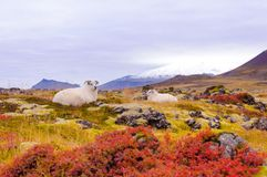 Ijslandse sheeps Royalty-vrije Stock Foto's