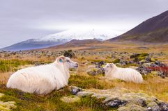 Ijslandse sheeps Royalty-vrije Stock Fotografie