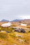 Ijslandse sheeps Stock Afbeelding