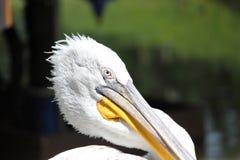 Ijsoog van een geel-eyed reiger royalty-vrije stock afbeelding