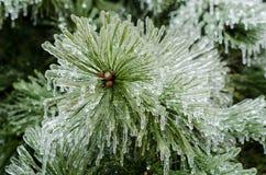 Ijspijnboom stock afbeelding