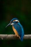 Ijsvogel Royalty-vrije Stock Afbeeldingen