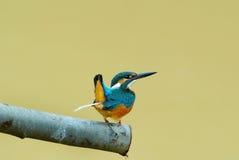 Ijsvogel stock afbeelding