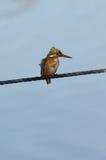 Ijsvogel Royalty-vrije Stock Foto