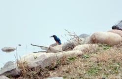 ijsvogel Royalty-vrije Stock Afbeelding