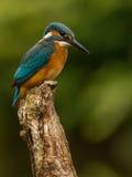 Ijsvogel Alcedo Atthis Stock Afbeeldingen