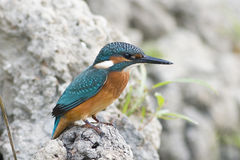 Ijsvogel/atthis Alcedo stock afbeelding