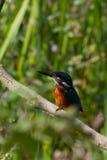 Ijsvogel (atthis Alcedo) Royalty-vrije Stock Foto's