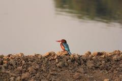 Ijsvogel bij jacht stock foto's