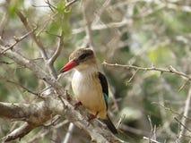 Ijsvogel bruin-met een kap Stock Afbeeldingen