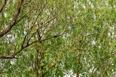Ijsvogel in de wildernis Royalty-vrije Stock Foto