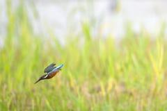 Ijsvogel die neer duiken Stock Fotografie