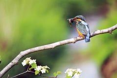 Ijsvogel die op een Tak wordt neergestreken stock fotografie