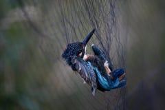 Ijsvogel die in schakelnet wordt geplakt royalty-vrije stock foto's