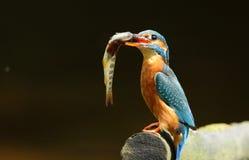 Ijsvogel en bruine forel. royalty-vrije stock fotografie