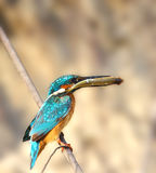 Ijsvogel met vissen in de bek royalty-vrije stock afbeelding