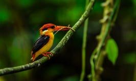 Ijsvogel met zwarte rug Royalty-vrije Stock Fotografie