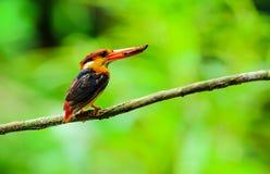 Ijsvogel met zwarte rug Stock Afbeelding