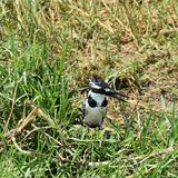 Ijsvogel op de banken van het Kazinga-Kanaal, Oeganda stock afbeeldingen