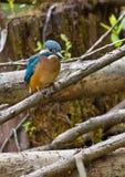 Ijsvogel op tak Stock Foto