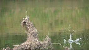 Ijsvogel visserij stock videobeelden