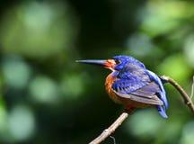 Ijsvogelpileata stock foto's