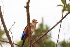 Ijsvogelrust op een boom boven het water Meru, Kenia Royalty-vrije Stock Foto's