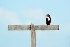 Ijsvogelvogel op een Hout Stock Afbeelding
