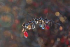 Ijswater met rode bessen van berberis na het bevriezen regen Royalty-vrije Stock Fotografie