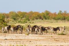 Ijver o ` Zebras stock afbeelding