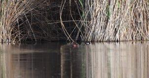 Ijzerhoudend Duck Floating op Vijver stock video