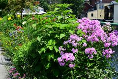 Ijzerkruidbloem in de tuin royalty-vrije stock foto