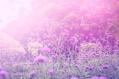 Ijzerkruidbloemen in de zonsopgang met zachte en onduidelijk beeldstijl royalty-vrije stock foto