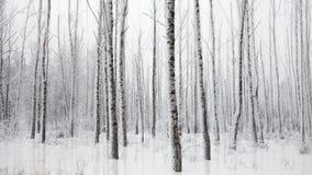 Ijzig de winterlandschap met sneeuwberken Royalty-vrije Stock Foto's