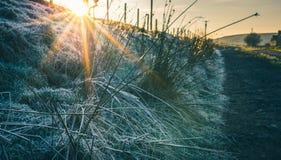 Ijzig gras in de winter stock foto