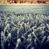 Ijzig Gras stock afbeeldingen