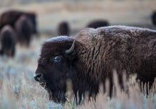 Ijzige bizon Stock Foto