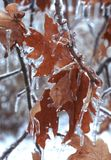 Ijzige Bladeren Royalty-vrije Stock Foto