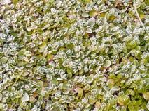 Ijzige Bladeren Royalty-vrije Stock Afbeelding