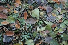 Ijzige bladeren Stock Afbeelding