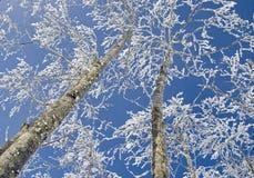 Ijzige bomen Royalty-vrije Stock Afbeeldingen