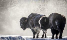 Ijzige de ademyellowstone van de bizonstoom royalty-vrije stock fotografie