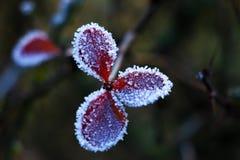 Ijzige de herfstinstallaties Bevroren groene bladeren op de tak onder de vorst stock fotografie