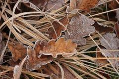Ijzige Leaves2 Stock Afbeeldingen
