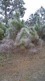 Ijzige Pijnbomen Stock Foto