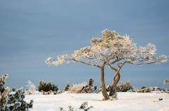 Ijzige pijnboomboom in een de winterlandschap Stock Afbeeldingen