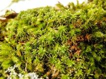 Ijzige sneeuw op groen mos in bosmacro royalty-vrije stock fotografie