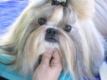 Ik ben zo Leuk! - Weinig Hond royalty-vrije stock afbeelding