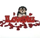 Ik houd van u Puppy yorkie-Poo Stock Afbeelding