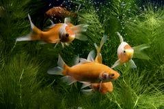 Ikan koi atau secara spesifiknya koi berasal dari bahasa Jepang yang berarti ikan karper. Lebih spesifik lagi merujuk pada nishiki stock photos